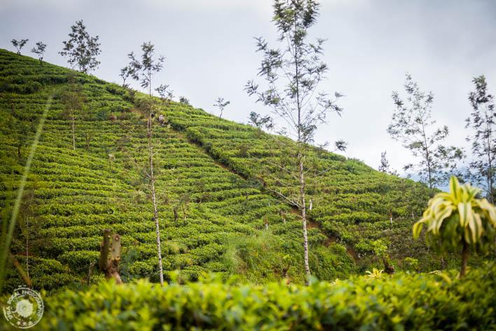 Plantaže čaja v okolici Hattona.