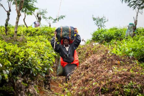 Vreče polne čajevih listov prenašajo v dolino