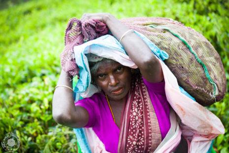 Naporno delo Sri Lanskih obiralk čaja