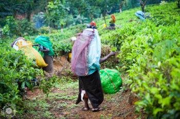 Obiralke nabran čaj odnašajo v dolino