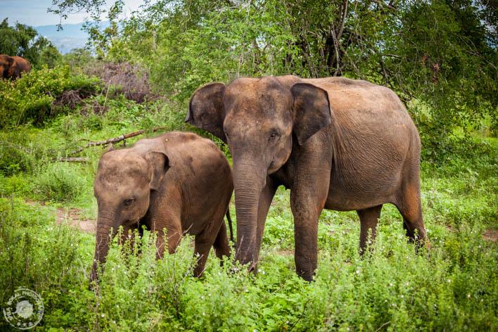 SriLanka-Udawalawe-NP-6630