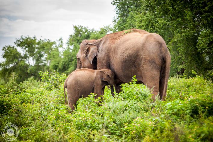 SriLanka-Udawalawe-NP-6811