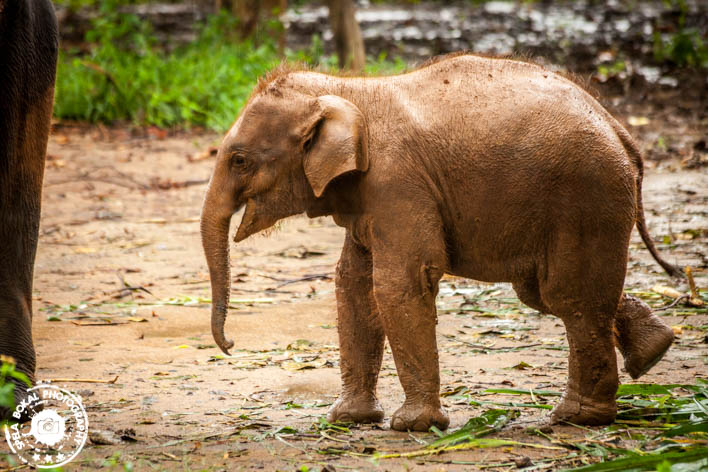 "Mali slonček v sirotišnice ""Elephant Transit Home"", Udawalawe"