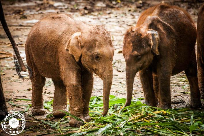 "Udawalawe - obisk slonje sirotišnice ""Elephant Transit Home"""