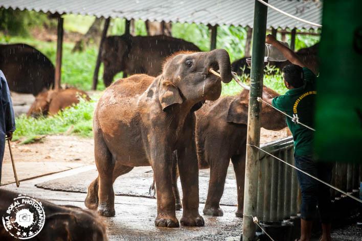 "Hranjenje maladih sirot v sirotišnici ""Elephant Transit Home"", Udawalawe"