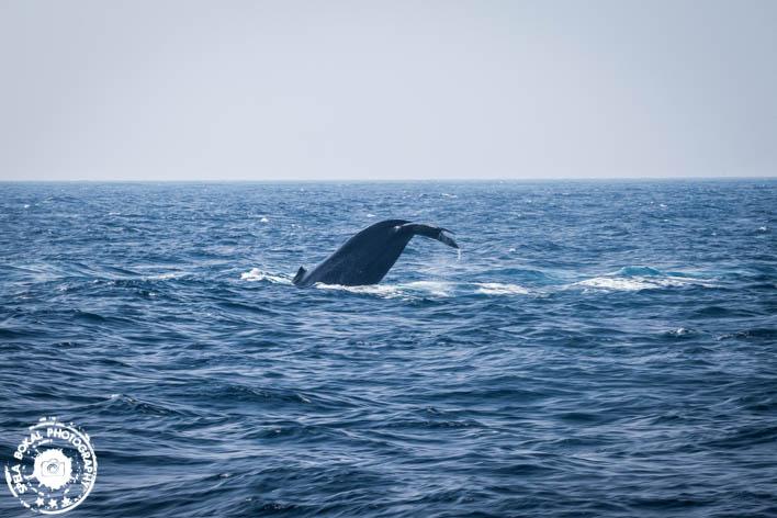 SriLanka-Mirissa-Blue-whales-7120
