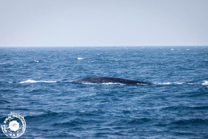SriLanka-Mirissa-Blue-whales-7145