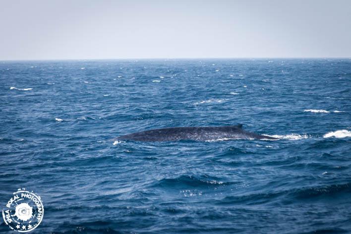 SriLanka-Mirissa-Blue-whales-7148