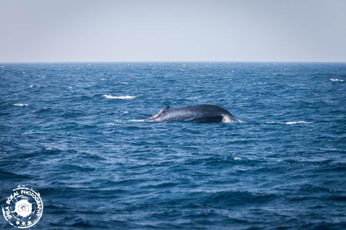 SriLanka-Mirissa-Blue-whales-7152