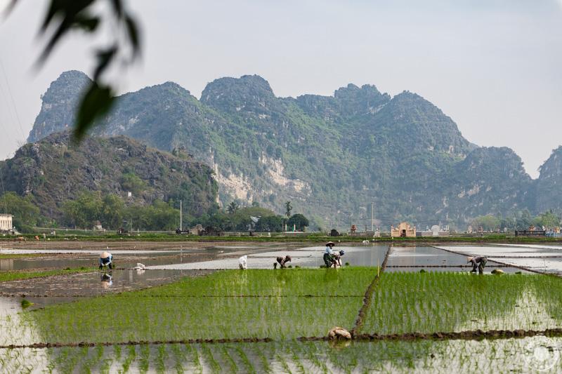 Presajanje riža. Ninh Binh - Vietnam