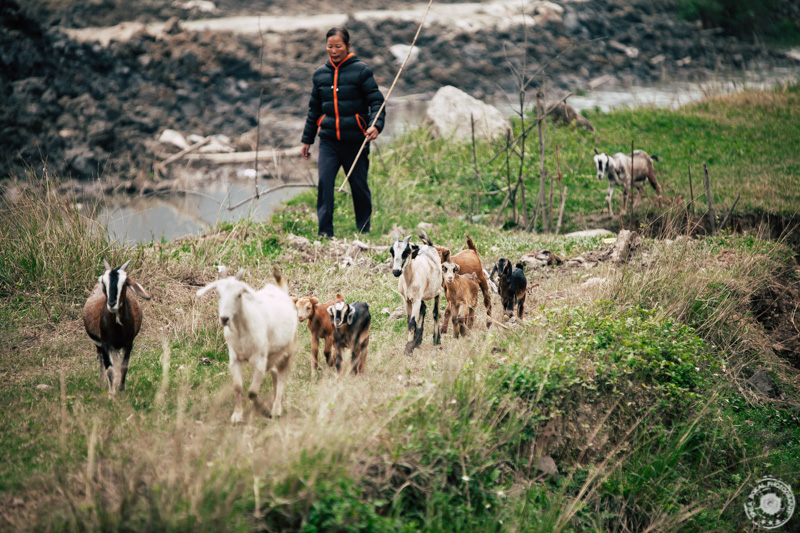 Marsikateri domačini še vedno pasejo svoje koze med riževimi polji.