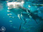 Plavanje s kitovci v Oslobu – Cebu